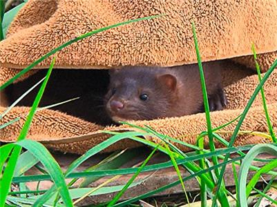 City Wildlife Rescue Release of the Mink (2015–2016) Online